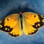 """""""Orange Sulphur Butterfly 2016_IMG_1177.FAA"""" by KsWorldArt"""