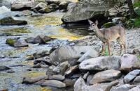 River Deer II