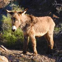 Wild Donkey of the Chemehuevi Mountains by Sandy O'Toole