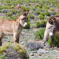 Pair of Wild Donkey Babes by Sandy O'Toole