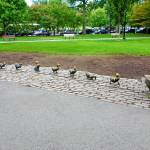 """Make Way for Ducklings Study 2"" by robertmeyerslussier"