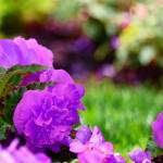 """Purple flowers P1080633"" by almarphotography"
