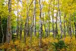 """Colorado Backcountry Forest by James """"BO"""" Insogna"""