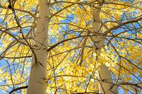 Fall Color (Two Aspen Trees)