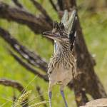 """160913-092 Roadrunner close11x14 signed"" by awsheffield"