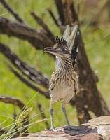 Roadrunner Close Up - Youngster 160913-092