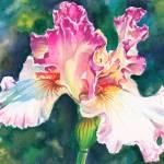 """Iris Sketch"" by KellyEddington"