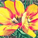 """""""Tulip Sketch"""" by KellyEddington"""