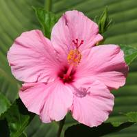 Bright Pink Hibiscus Square
