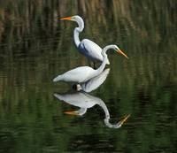 Great Egrets Reflecting
