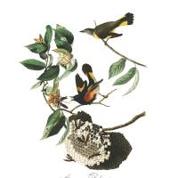 """American Redstart, by John Audubon"" by motionage"