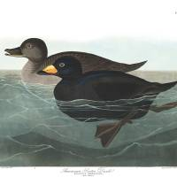 """American Scoter Duck, by John Audubon"" by motionage"
