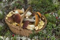 Basket Full of Edible Mushrooms in the Forest