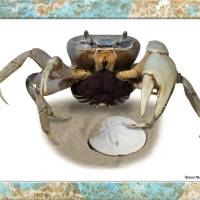 """sand crab"" by RichardMurrey"