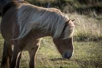 Icelandic Horse and Thick Mane