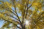 "Cottonwood Sunshine by James ""BO"" Insogna"