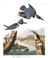 Belted Kingfisher, by John Audubon