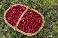 Fresh Cowberries in a Basket in the Forest