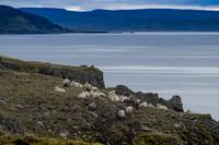Icelandic Sheep on Rugged Cliff