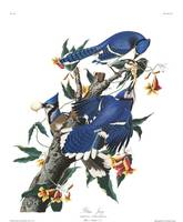 Blue Jay, by John Audubon