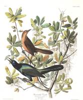 Boat-tailed Grackle, by John Audubon