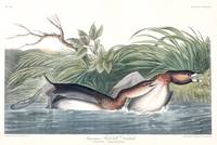 American Pied-billed, by John Audubon