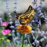 """Giant Swallowtail Butterfly on Yellow Zinnia"" by KsWorldArt"