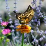 """Giant Swallowtail Butterfly on Yellow Zinnia"" by KsWorldArt"