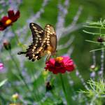 """Giant Swallowtail Butterfly in Meadow"" by KsWorldArt"