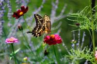 Giant Swallowtail Butterfly in Meadow