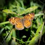 """Pearl Crescent Butterfly 2016"" by KsWorldArt"