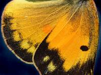 Orange Sulphur Butterfly Wing 2016
