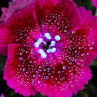 Ruby Red Sweet William Square