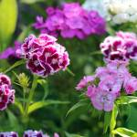 """Sweet William Flowers in Garden"" by KsWorldArt"