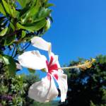 """""""white hibiscus in italy two"""" by flowersinabstract"""