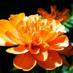"""Orange Petals"" by Photomaker511"