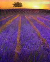 sunrise lavender fields