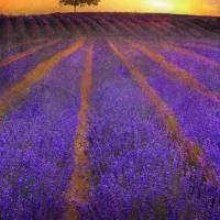sunrise lavender fields Art Prints & Posters by r christopher vest