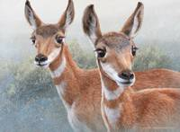 sibling fawn pronghorns