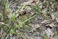 Leopard Frog in Grass