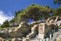 pine tree on the stone
