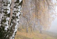 misty birch grove