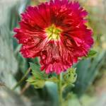 """""""Red Hollyhock"""" by haybales"""