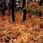 """maple shoots"" by RichardBaumer"