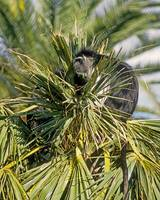 Colobus Monkey in Palm Tree