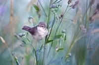 Millerbird sings in the middle of the green foliag