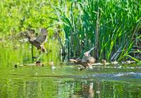 two Mallard Ducks fly under the lake