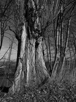 Old Poplar Tree