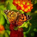 """""""American Painted Lady"""" by haybales"""