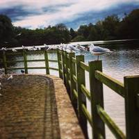 Seagulls at Rufford Park.